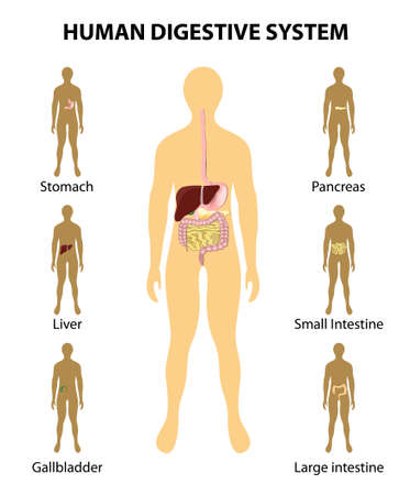 układ pokarmowy: Anatomia człowieka. Układ pokarmowy. Narządy podświetlony na sylwetkę człowieka. Szczegółowy schemat różnych organów ludzkich: wątroba, jelita grubego, trzustki, jelita grubego, żołądka. Może być stosowany w przemyśle medycznym, edukacji, nauki. Ilustracja