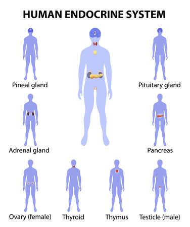 Menselijk endocriene systeem. Menselijk silhouet met endocriene klieren. iconen set.