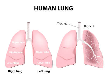 lung bronchus: Detailed diagram of the human lungs.