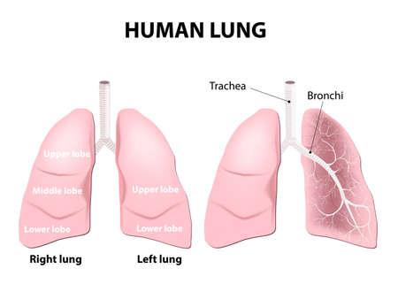 pleura: Detailed diagram of the human lungs.