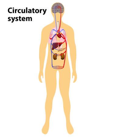 human anatomy. Human bloodstream. circulatory system or cardiovascular system. Vector