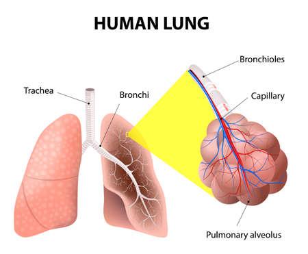 Struktur av mänskliga lungor. Illustration