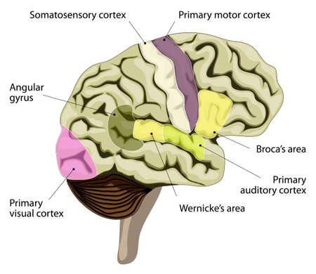 Le cerveau humain. zones de traitement du langage dans le cerveau. L'aire de Broca, l'aire de Wernicke, auditif, visuel, le cortex somatosensoriel et autres. Banque d'images - 33522510