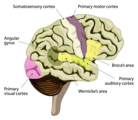 areas: The human brain. language-processing areas in the brain. Broca's area, wernicke's area, auditory, visual, somatosensory cortex and other.