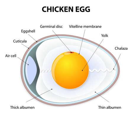 membrana cellulare: Schema di un uovo di gallina. Illustrazione che mostra l'anatomia degli uccelli uovo. Vettoriali