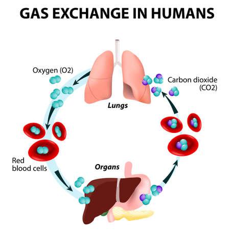Lo scambio di gas negli esseri umani. Percorso di globuli rossi. Ciclo di trasporto di ossigeno. Sia ossigeno e anidride carbonica vengono trasportati attorno al corpo nel sangue: dai polmoni agli organi e di nuovo ai polmoni. Archivio Fotografico - 34138132