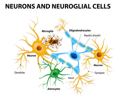 Neurons and neuroglial cells. Glial cells are non-neuronal cells in brain. There are different types of glial cells: oligodendrocyte, microglia, astrocytes and Schwann cells Vettoriali