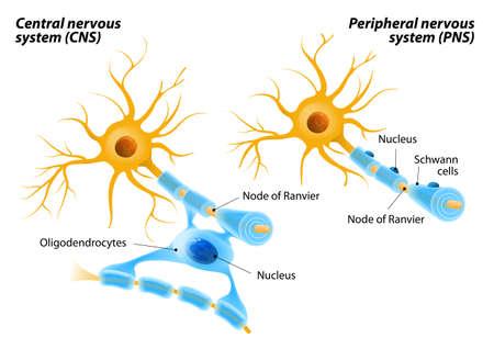sistema nervioso central: diferenciación de los axones mielinizados. Los oligodendrocitos a diferencia de las células de Schwann forman segmentos de vainas de mielina de numerosos neuronas a la vez. Los oligodendrocitos en el sistema nervioso central y las células de Schwann en el sistema nervioso periférico.