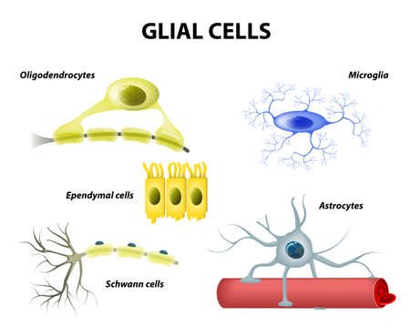 Types of neuroglia. Classification of glial cells: microglia, astrocytes, oligodendrocytes and Schwann cells, Ependymal cells Illustration