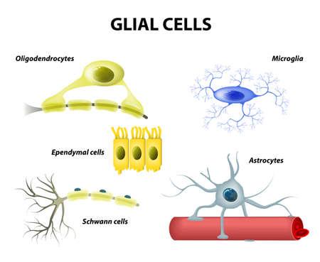 Types of neuroglia. Classification of glial cells: microglia, astrocytes, oligodendrocytes and Schwann cells, Ependymal cells Vector
