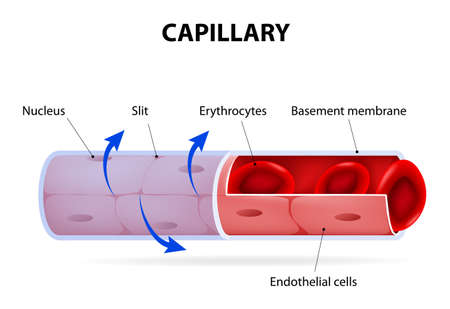 blood circulation: Capillary. blood vessel. labelled. Vector Diagram