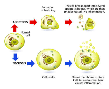 division: Apoptotic versus necrotic morphology. Apoptosis and necrosis is a form of cell death. Structural changes Of cells undergoing necrosis or apoptosis. Schematic Representation Of The Process Apoptosis and necrosis. Apoptosis is triggered by normal, healthy p