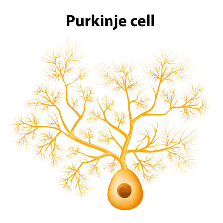Purkinje cell or Purkinje neuron. Morphology of the Purkinje cell model. dendrites Purkinje cells can generate electrical impulses Vector
