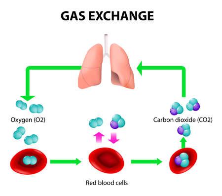 El intercambio de gases en los seres humanos. Ruta de los glóbulos rojos. Ciclo de transporte de oxígeno. Tanto el oxígeno y el dióxido de carbono se transportan alrededor del cuerpo en la sangre: desde los pulmones a los órganos y de nuevo a los pulmones. Foto de archivo - 34646894
