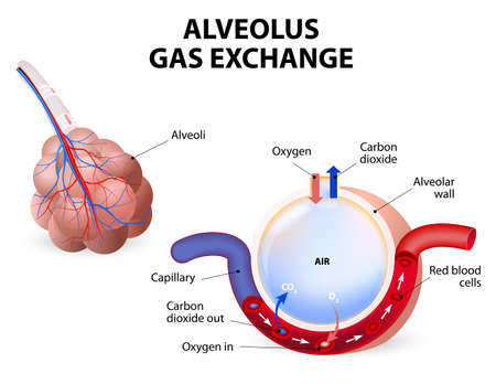 respiration: Alveolus gas exchange, alveoli and capillaries in the lungs.