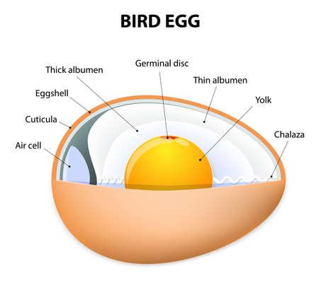 anatomia: estructura de huevo de gallina. anatom�a de aves