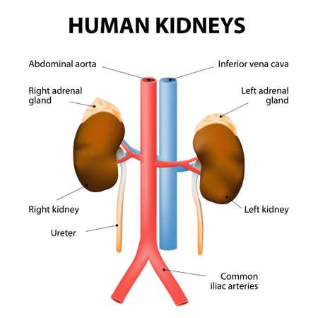suprarrenales: Los riñones, las glándulas suprarrenales y los vasos sanguíneos (aorta y la vena cava). Ilustración médica detallada. Aislado en un fondo blanco. sistema excretor humano.