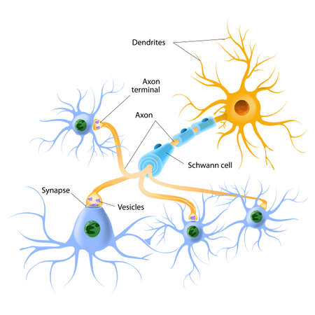mechanizmy uwalniania neuroprzekaźnika. Neuroprzekaźniki pakuje synaptycznych pęcherzyków przesyłania sygnałów z komórki nerwowej do komórki docelowej w poprzek synapsie. Ilustracje wektorowe