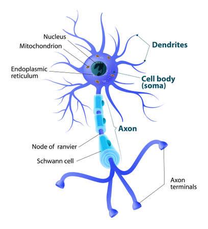 Anatomie van een typisch menselijk neuron. Structuur neuron: axon, synaps, dendriet, mitochondrion, myelineschede, knooppunt Ranvier en Schwann cel. geëtiketteerd Stock Illustratie