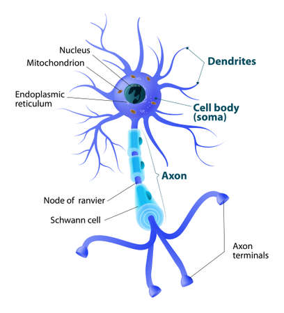 Anatomy of a typical human neuron. Structure neuron: axon, synapse, dendrite, mitochondrion, myelin sheath, node Ranvier and Schwann cell. labeled Vector