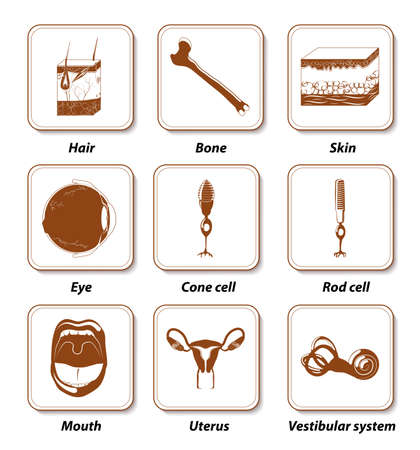 vestibular: Human anatomy icon set. internal human organs for infographic. labeled Illustration