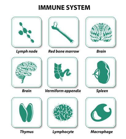 inmunidad: establecer iconos. Sistema inmune. órganos humanos internos.