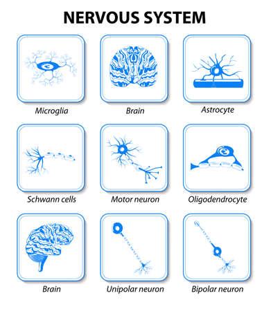 celulas humanas: iconos cerebro y las neuronas de c�lulas de infograf�a. Sistema nervioso. Anatom�a humana