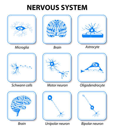 icons brain and neurons cell for infographic. Nervous system. Human anatomy