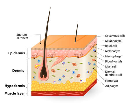 fibroblast: Structure of the Human skin. Anatomy diagram. different cell types populating the skin.