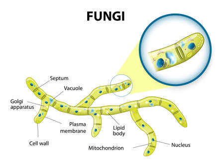 Typical fungi cell. Fungal Hyphae. Structure fungi. Diagram illustrating the ultrastructure of a septate hypha