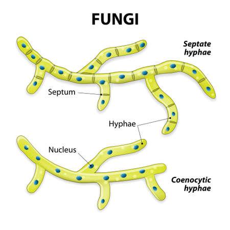 clasificacion: Hongos. Clasificaci�n basada en la divisi�n celular. Hifas septadas (con septos) e hifas aseptados (coenocytic o sin tabiques).