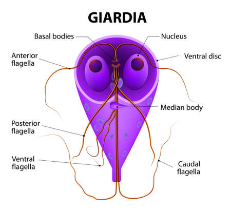 Giardia lamblia - anaerobic flagellated protozoan parasites. Illustration