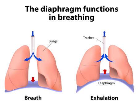 Membran-Funktionen bei der Atmung. Atem-und Ausatmen. Vergrößerung der Kavität erzeugt einen Sog, der Luft in die Lungen zieht
