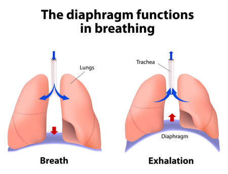 diaphragm functions in breathing. Breath and Exhalation. enlarging the cavity creates suction that draws air into the lungs Illustration
