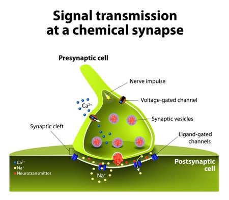 neurona: La transmisión de señales en una sinapsis química. una neurona libera moléculas de neurotransmisores en la hendidura sináptica que es adyacente a otra neurona. Vectores