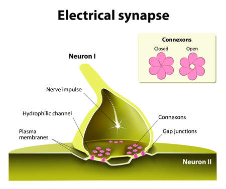 Trafficking of channels at electrical synapses. Electrical synapses work with practically no time delay. suspected of contributing to the spread of seizure discharges in epilepsy.