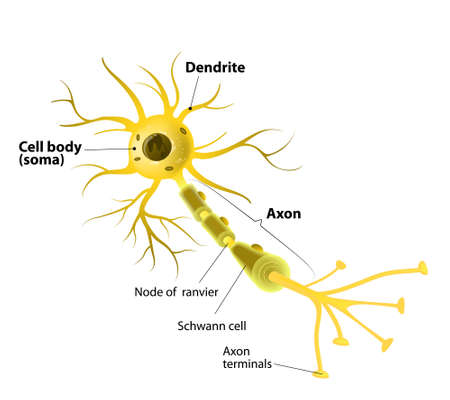 sistema nervioso central: Neurona y Synapse Etiquetada Diagrama Vectores