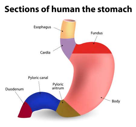 sistema digestivo: Secciones del estómago humano Vectores