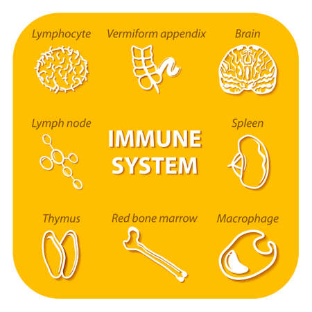 human immune system: contour of internal human organs. icons with shadow. internal human organs: lymph node, red bone marrow, brain, spleen, vermiform appendix, and thymus. natural killer cells: lymphocyte and macrophage. human immunity. Illustration