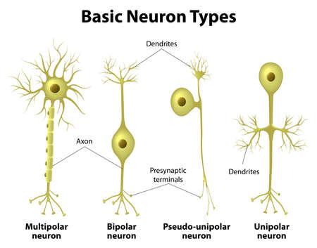 Podstawowe typy neuronów. Unipolarny, pseudo-jednobiegunowy neuron, bipolarny, a wielobiegunowe Neurony. Neuron ciała komórki. Różne typy neuronów