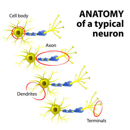axon: Anatomy of a typical multipolar neuron: dendrite, cell body (soma),  axon and terminal