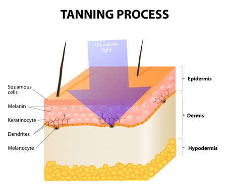 skin burns: Tanning process. Skin. Human anatomy