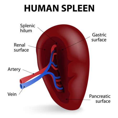 spleen: Visceral surface of the spleen. The spleen synthesizes antibodies