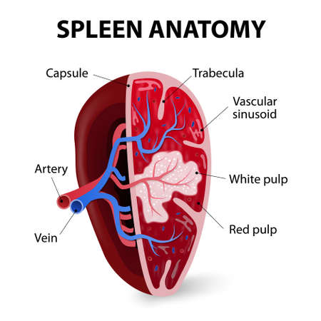 Spleen. Cross section. Illustration showing the trabecular tissue and the splenic vein and its tributaries. Human anatomy Illustration