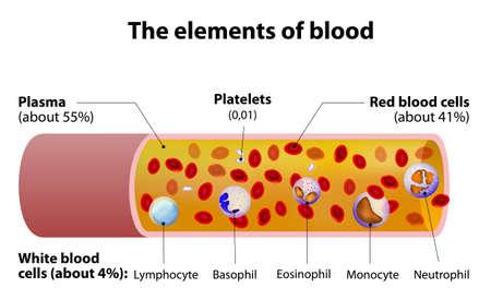 globulos blancos: Los elementos de la sangre. vasos sanguíneos sección cortada.