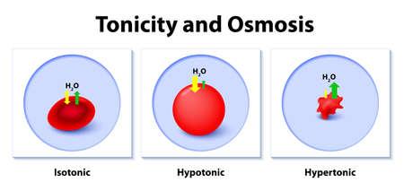 등장 성, 하이포 토닉 및 하이포 토닉 솔루션 동물 세포에 미치는 영향. 토닉과 삼투. 이 다이어그램은 hypertonic, hypotonic 및 istonic solution이 적혈구에 미