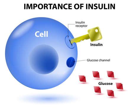 Insulin dient als Schlüssel, die die Zelle entriegelt, damit Glukose in die Zelle eindringen und zur Energiegewinnung genutzt werden. Insulin ist ein Hormon, das von der Bauchspeicheldrüse als Reaktion auf erhöhte Blutspiegel von Glucose sezerniert. Vektorgrafik