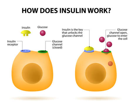How does insulin work. Insulin regulates the metabolism and is the key that unlocks the cells glucose channel Vector