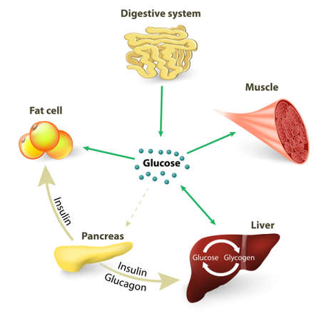 muscle cell: Blood sugar or glucose and insulin. Illustration
