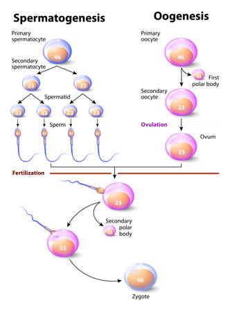 精子と卵形成。卵形成または ovogenesis は卵子の作成、配偶子形成の女性の形態です。男性と同等は精子です。